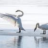 Swan Dance  1