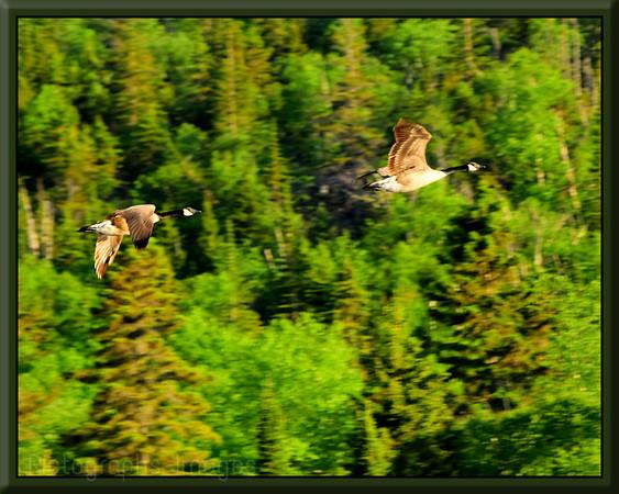 Flying Geese, Summer 2019