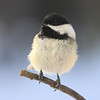""" Sitting in the Morning Sun ""  Chickadee"