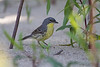 Kirtland's Warbler - May 15, 2013 - West Beach taken in afternoon
