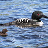 Loons With Chick  4
