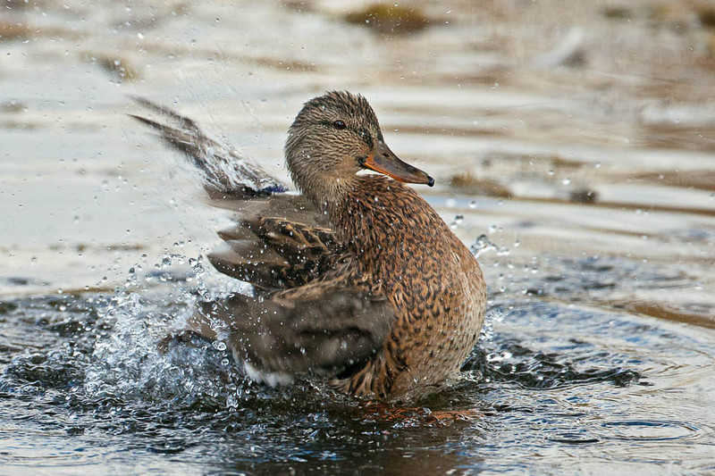 Mallard Duck, Jackson, Wyoming