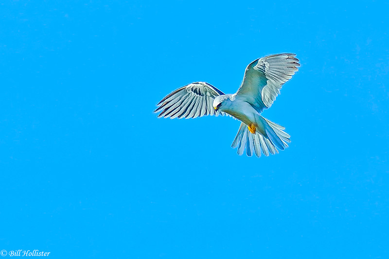 White-tailed Kite at Schollenberger hovering 1-2102 #2 - Copy