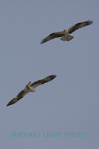 Ospreys, Dunedin, FL