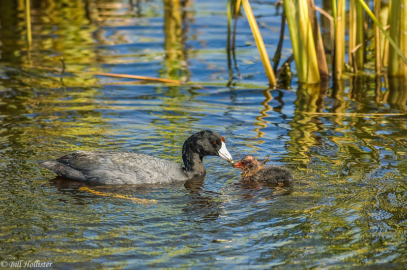 American Coot in Tetons with baby touching beaks #1