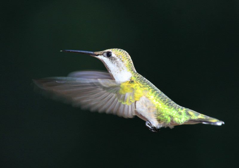 """  Caught in Mid Air 2 ""  Humming Bird in Flight"