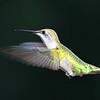 """""""  Caught in Mid Air 2 """"  Humming Bird in Flight"""