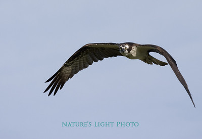 Osprey Watching Photographer, Dunedin, FL