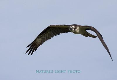 Osprey Watching Photographer, Dunedin, FL