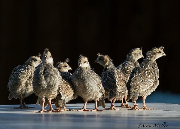 California Quail chicks
