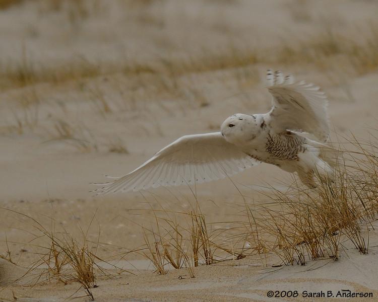 Take off!  <br /> Snowy Owl<br /> Assateague Island National Seashore, Maryland<br /> December 2008