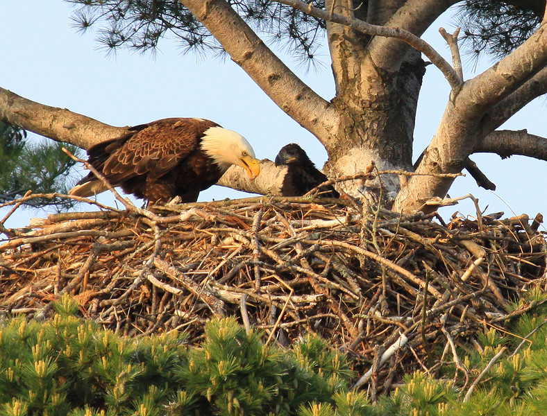 """  Bald Eagle With Baby in Nest  ""  Picture taken with Canon 50D with a 100-400 L I/S zoom lens from about 150 feet away."