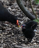Moorhen with chicks<br /> London Wetland Centre, London, England