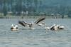 American White Pelican 8 June 2013 at South Sauty