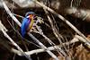 Madagascar [Malachite] Kingfisher