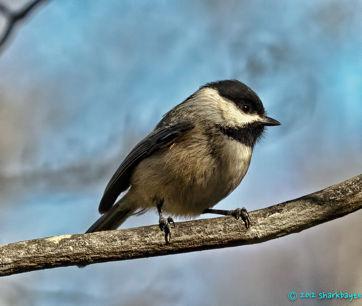 This is a carolina chickadee.