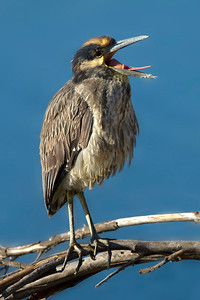 Yellow-crowned Night-Heron immature  * First on record for Bolsa Chica Wetlands, Orange County CA