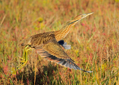 Well-Camouflaged ~ American Bittern