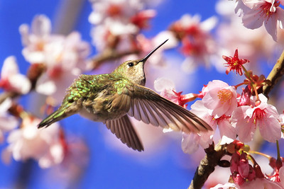 Anna's Hummingbird in the Cherry Blossoms
