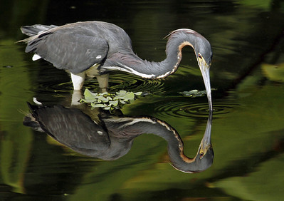 Seein' Double ~ Tri-Colored Heron