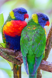 Rainbow Lorikeet's sheltering from the rain, Tea Gardens, New South Wales