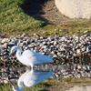 White Egret, Lake Park, La Habra, CA