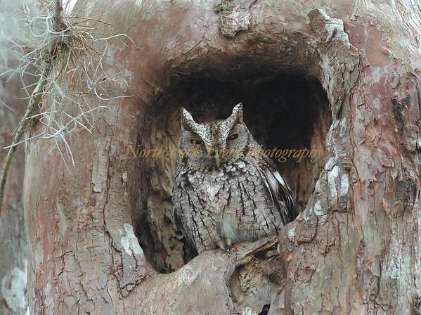 Screech Owl struggling to keep its eyes open
