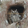 Screech Owl struggling to keep its eyes open