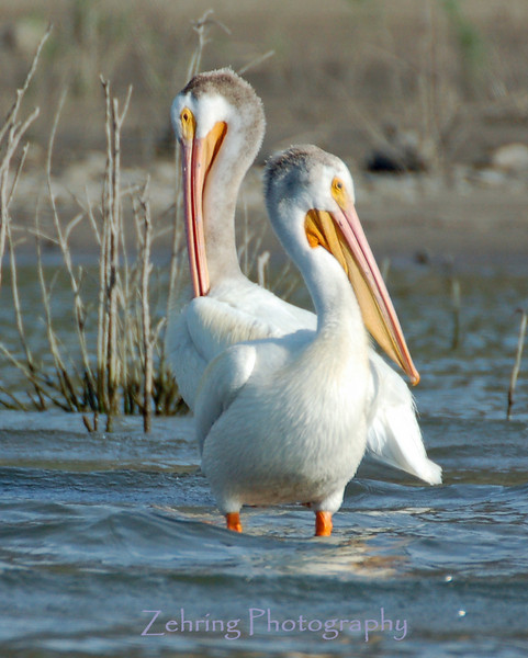 A pair of white pelicans enjoy the late afternoon sun at Lahontan Reservoir, Nevada