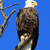 """The High and the Mighty""  American Bald Eagle"
