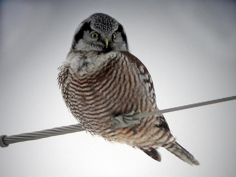 Northern Hawk Owl<br /> Minnesota