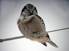 Northern Hawk Owl<br /> Minnesota