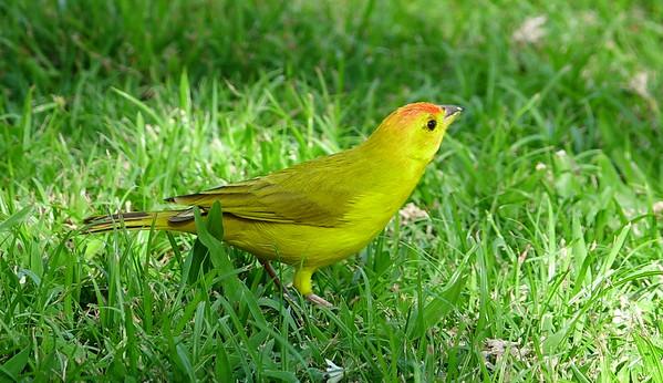 Saphron Finch