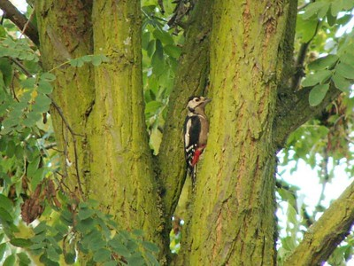 Great Spotted Woodpecker. Taken in the garden at St Ives, 24th September 2006