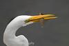 Great Egret, Ardea alba, with Kelp Fish
