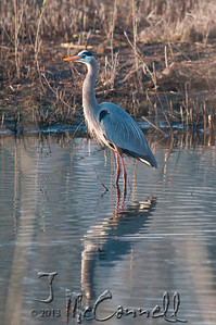 Heron and His Reflection