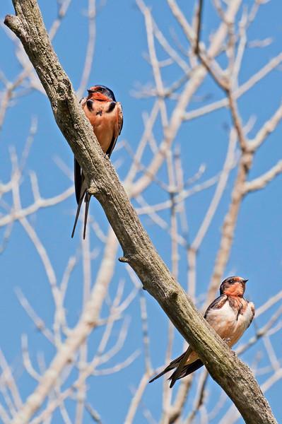 Barn Swallow pair, Beaver Marsh, 7/26/10