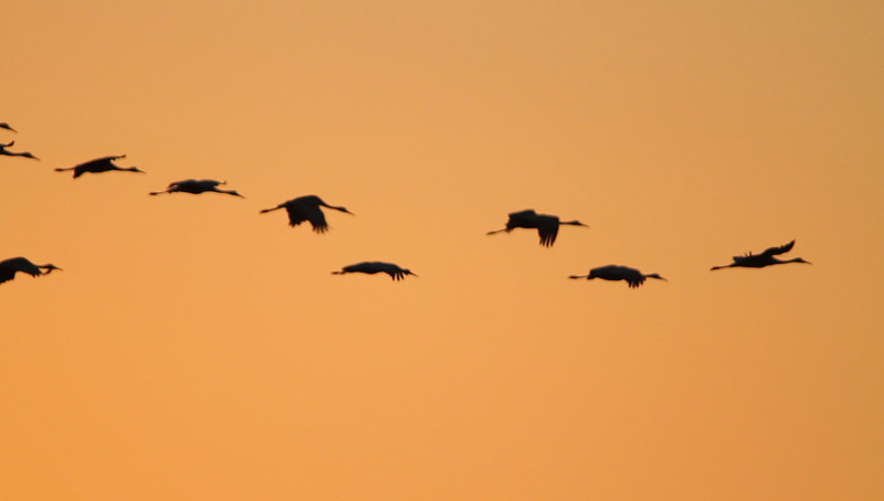 Sandhill Cranes coming in to roost at sunset - November 2010