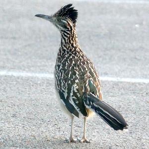 P168GeococcyxCalifornianus673 July 6, 2017  6:54 a.m.  P1680673 A Roadrunner, Geococcyx californianus, can often be seen on or near a road in the Lady Bird Johnson Wildflower Center.  Cuculid.
