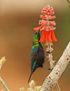 Marico Sunbird, NamibRand Nature Reserve, Namibia