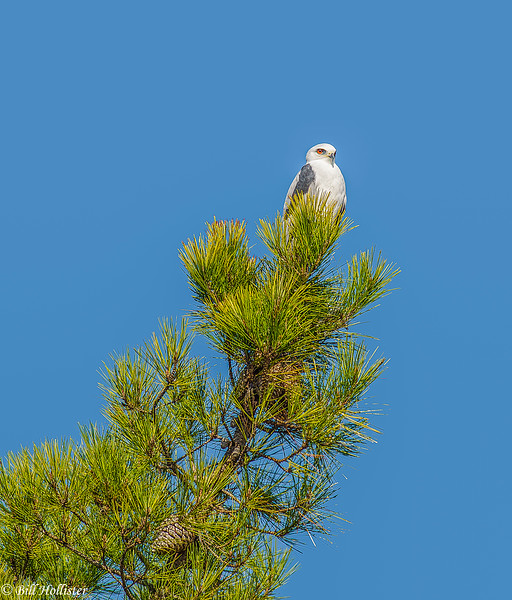 White Tail Kite in pine tree at Ellis Creek 10-2013 #4 - Copy-2