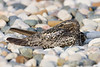 Common Nighthawk - June 2008 - Monclova, OH