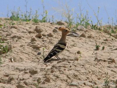 Hoopoe Kirkuk, Iraq