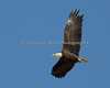 Male Bald Eagle in flight - Milpitas - 10Apr2017