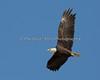 Male Bald Eagle in flight - Milpitas - 10Apr2017