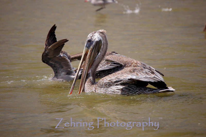 A brown pelican and a seagul share the water feeding on school of grunion in the shallows off the pier at Pismo Beach, Ca.