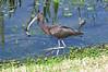 Glossy Ibis, Viera Wetlands, Viera, Florida