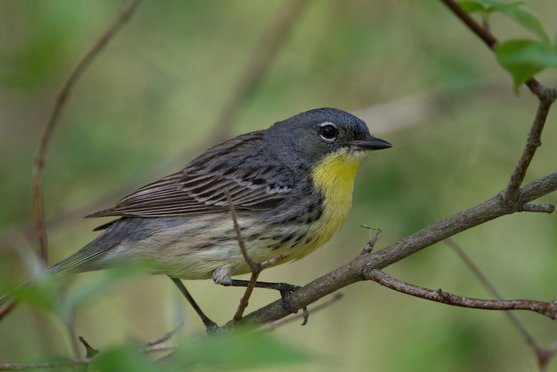 Kirtland's Warbler - May 15, 2013 - 9:20 AM - Along road near the parking lot.  This one showed up right in front of me!  This was my best find ever for birding.