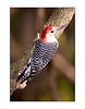 Red-bellied Woodpecker<br /> (Melanerpes carolinus)