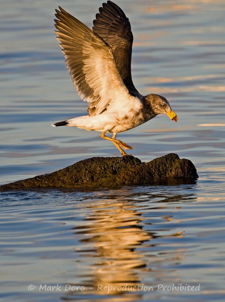 Pacific Gull dancing, Williamstown, Victoria